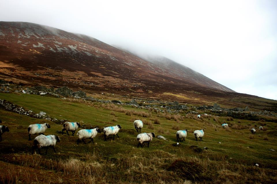Sheep at Achill island