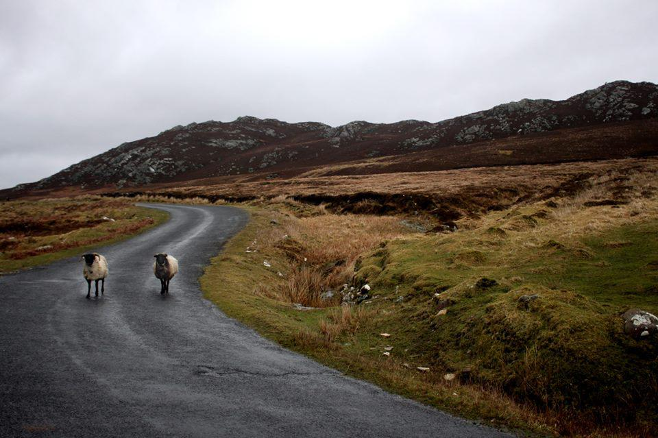 Sheep on a road to Achill island